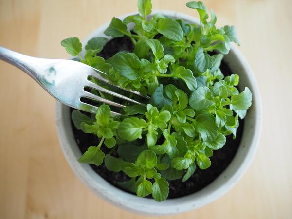 ちょとだけお世話をサボってしまい、葉っぱだけになったビオラ…。 野菜サラダにしか見