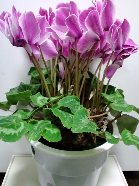 1 我が家の最古参シクラメン。毎年たくさんの花を咲かせてくれています。長生きして