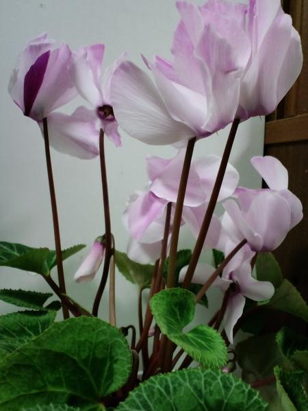 33 ピアス風シクラメン、南向きの腰高窓の上で花数が増えてきました。大輪です。