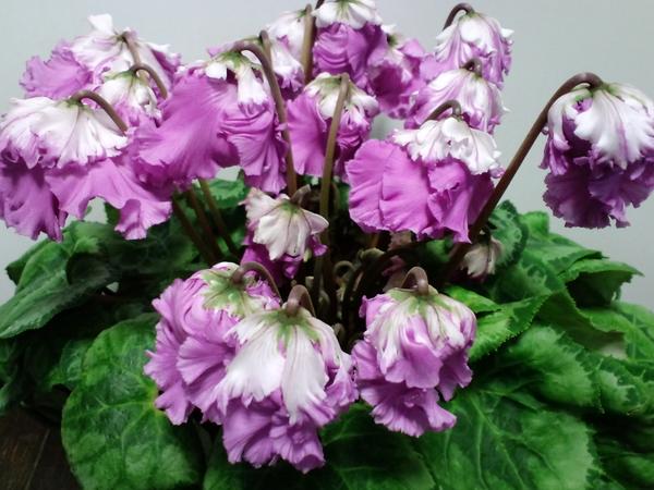 44 ひらり紫二重 同じ時期に購入しておそろいのように咲き誇っていた「あげはピンクダ