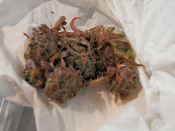 届いた「ツメレンゲ」の芽。 2017年3月16日。