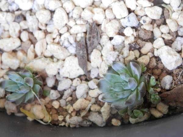 4月28日、脇芽も出てきています(右)。