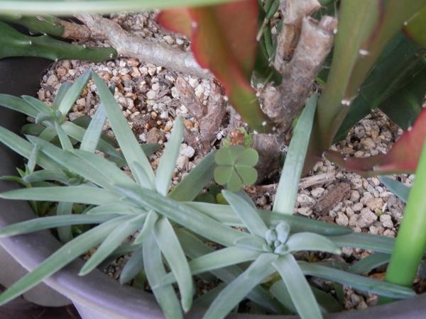 6月16日。 クジャクサボテンの花期が終わったので、そろそろ植え替えないといけな
