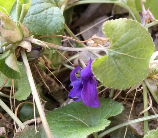 ニオイスミレ、季節に関係なく、ときどき咲きます。こんな寒い中でも。 でも、喰われ
