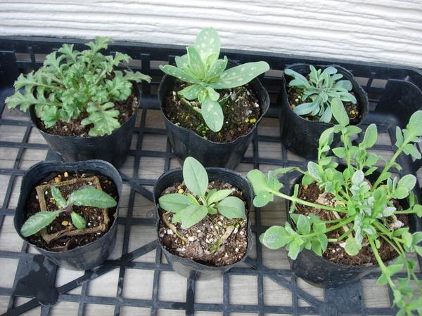 1月20日 ポット苗成長中⑦ 後列左から ネモフィラ・マキュラ―タ セリンセ オンファロデ