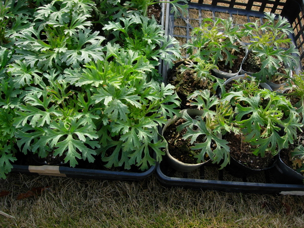 2月5日 育苗中のディディスカス(別名ブルーレースフラワー)。 9月28日に種まき