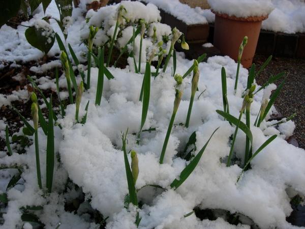 2月12日 日本水仙のつぼみ・・雪の中で。  例年になく厳しい寒さの続くこの冬。 こ