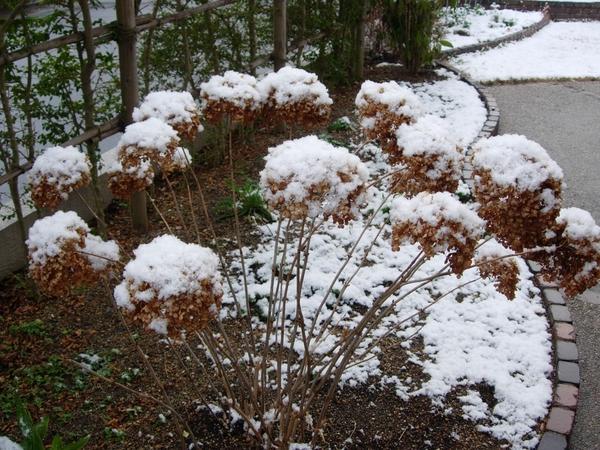 2月13日 雪をかぶったアナベル。 右の写真の翌日の朝にも、また一時積雪。 ずっと