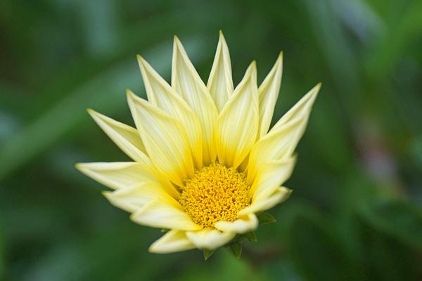 ガザニア 別 名:クンショウギク(勲章菊) キク科ガザニア属(クンショウギク属) 寒
