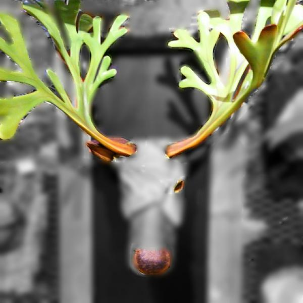 1月31日更新  赤いハナミズキさんのヒヤシンスが咲いたので鼻が浮き上がりました。