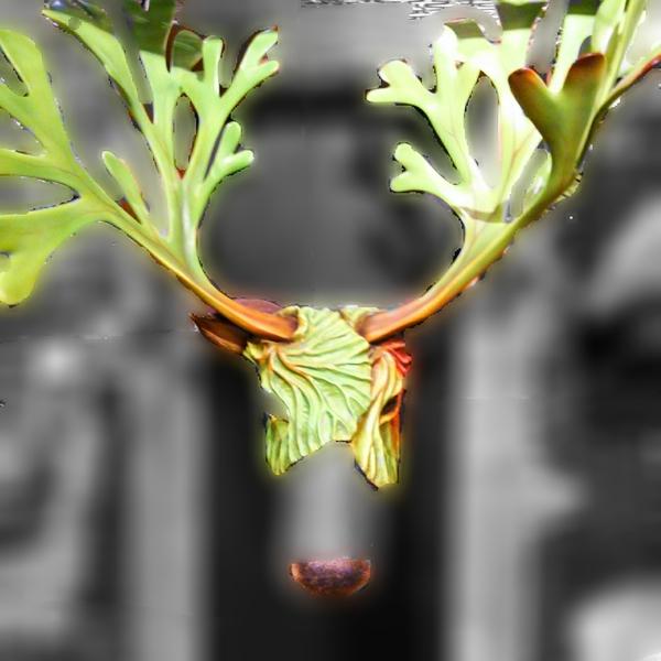 たま子さんのポテ子さんが咲いたのでお待ちかねの貯水葉が浮き上がりました