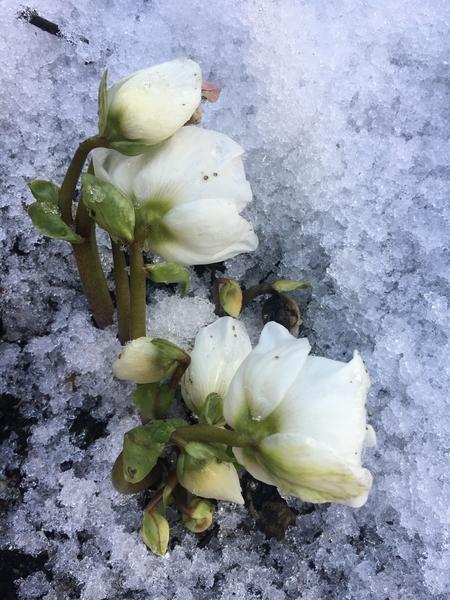 雪に埋まっていたクリスマスローズ   ニゲラ  いつまでたっても雪が解けないので 今日