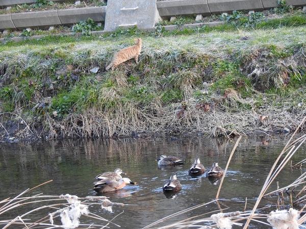 カルガモ を 狙う 猫  獲物は 水の上でした。 退散‼ 退散‼