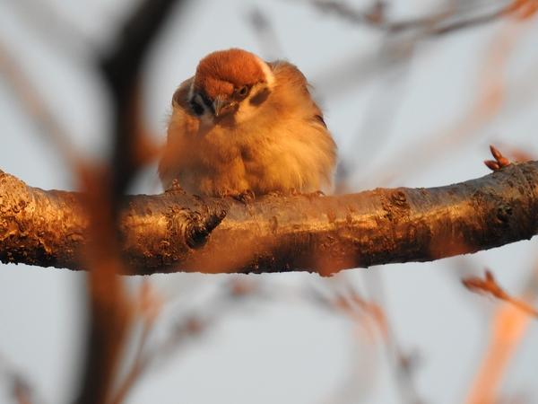 サクラの木 と スズメ  写真を初めて撮りました。