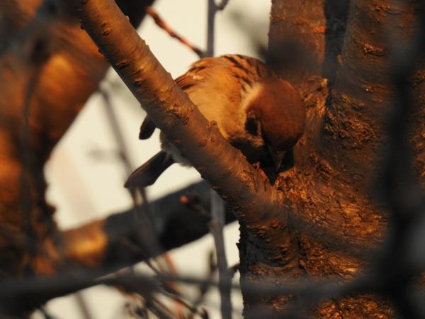 サクラの木 と スズメ  何やら下を覗いています。