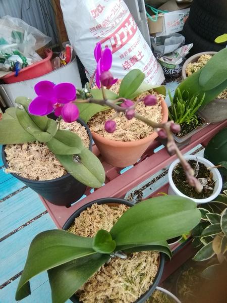 コチョウラン(胡蝶蘭)の写真 by 勘太郎 紫色の胡蝶蘭が咲き始めました。