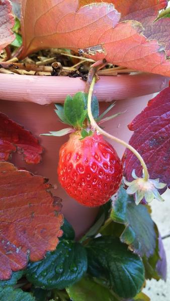 1粒目の収穫から約1か月後、2粒目もC1F209から収穫でした✨ 12月になり気温は氷点下ま