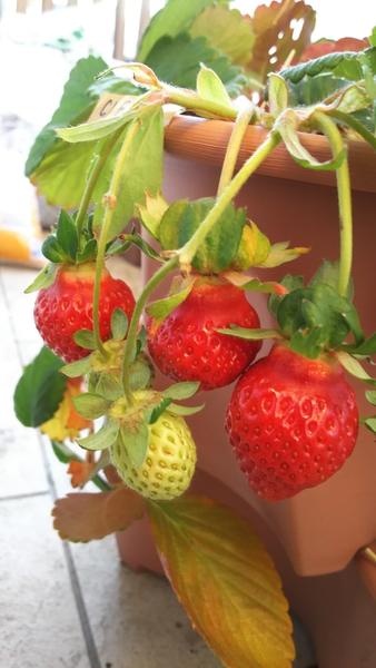 C1F203からも実が成り、12月23日、赤い実の3粒を収穫です✨ 3粒を同時に収穫できるのは