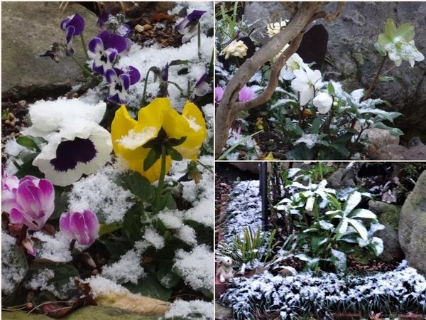 左:花壇のパンジービオラ・ミニシクラメンの花たちが雪をかぶって喜んで🙌🎶 📷右:2か