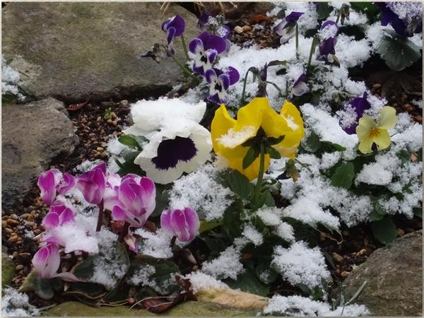 花壇のパンジービオラ・ミニシクラメンの花たちが雪をかぶって喜んで🙌🎶