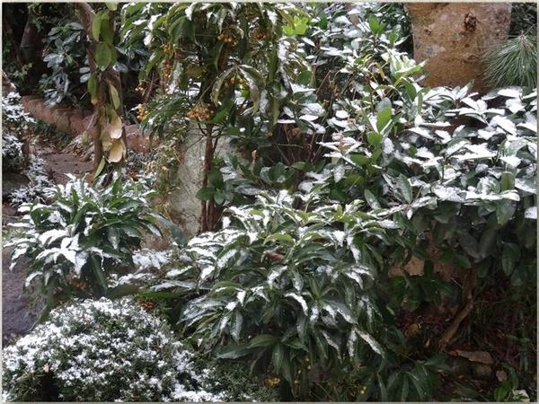 マンリョウの木もこんなになった雪化粧の姿