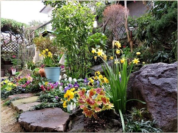 モミジ葉ゼラニウムとミニスイセンを先頭に眺める花壇の姿