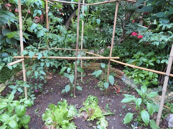 1⃣📷手前の右からピーマンを二つ...左から後ろ回ってミニトマト...中心一つがトウガラ