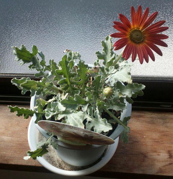 霜が降りる前に室内に入れた「アークトチス」が遂に開花しました🙌