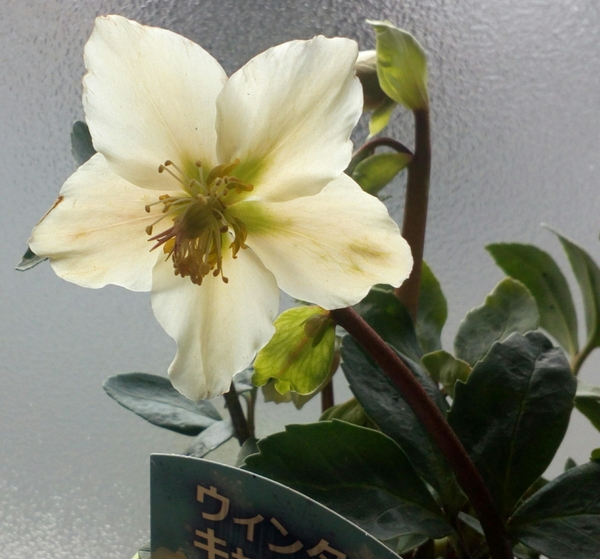 新しく仲間入りした「クリスマスローズ❛ウインタキャロル❜」のアップです。元気に開花