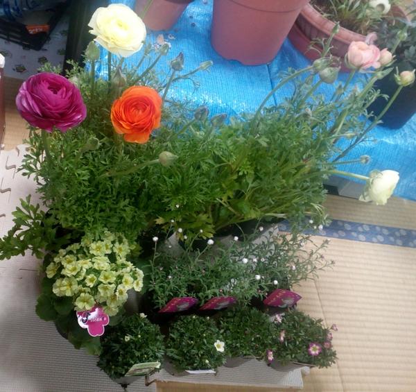 「雨の日」セールのポップに釣られ、購入した花々たちです(* ´艸`) オマケに「プリム