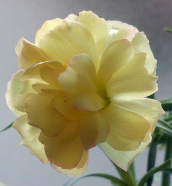 最高気温が6℃にも満たない強烈な寒さの外の天候とは裏腹に⇒室内で順調に開花中の「カ