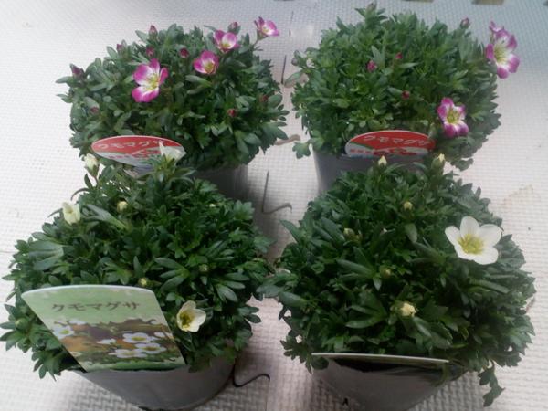 「雨の日」セールのポップに釣られ、思わず購入した「雲間草」たちです(* ´艸`) 64