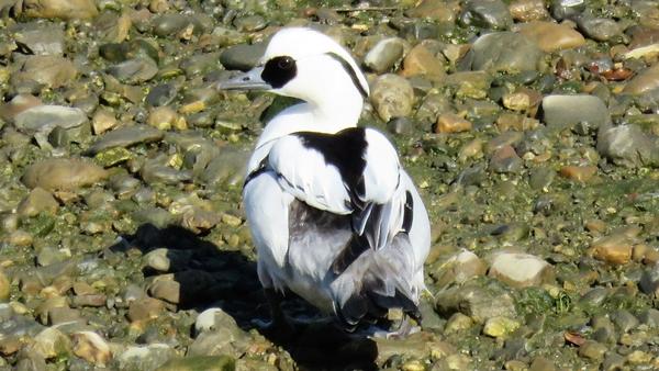 ミコアイサ 2月4日 クルマの点検待ち時間に デーラーの隣を流れる川で撮影 ミコアイサ
