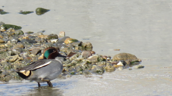 コガモ 2月4日 クルマの点検待ち時間に デーラーの隣を流れる川で撮影