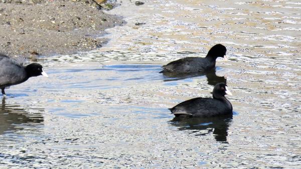 オオバン 2月4日 クルマの点検待ち時間に デーラーの隣を流れる川で撮影