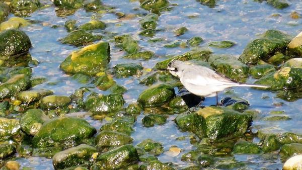ハクセキレイ 2月4日 クルマの点検待ち時間に デーラーの隣を流れる川で撮影 ミコアイ