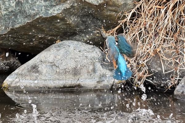 今朝(2/4)日曜でも、餌探しです。 大きなザリガニをくわえて水の中から上がって来まし