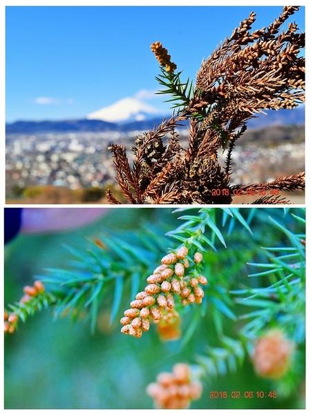 裏山を歩くとスギの雄花が だいぶ大きくなりだしています。 花粉症の方、そろそろ注意