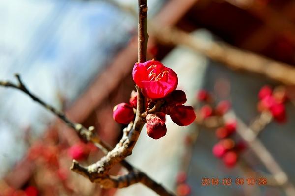 寒さのせいか梅が開きませんが、 一重咲き・中輪『ベニチドリ』が一輪だけ 開き始めま
