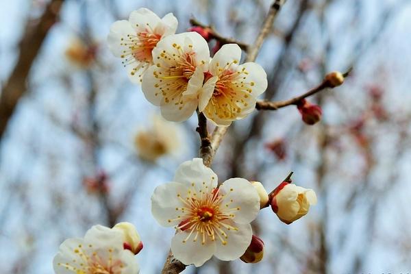 池のそばの梅(白)は5分咲きくらいになっています。