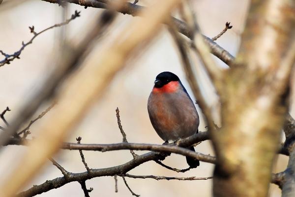 そんな桜の花芽を狙って もう『ウソ』が様子を見に来はじめています。 頭の黒と頬の紅
