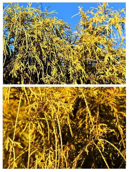 和風庭園に似合う、ヒノキ科常緑針葉樹 『イトヒバ』新芽が鮮やかに黄色く色づき始め