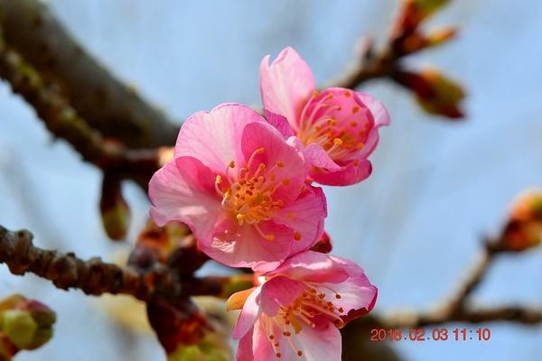 寒さで『河津桜』がなかなか満開になりません。 昨年は1月末には満開でしたから、1