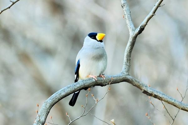 裏山中腹に、体は灰色、黒い頭部の先の 黄色い太いくちばしが特徴の『イカル』発見。