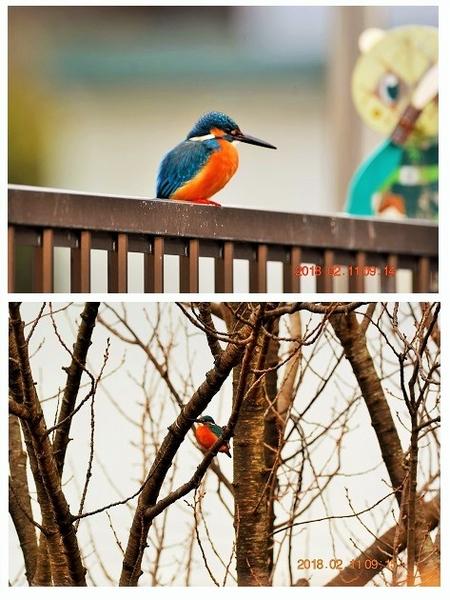 今日(2/11)のカワちゃん 飛んで行ったので、ついていったら民家の塀や庭の桜の樹で一