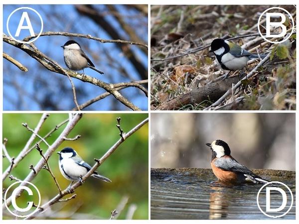 今日は鳥に関する問題です。 4羽のシジュウカラ科の小鳥がいます。 この中で『ヤマガ