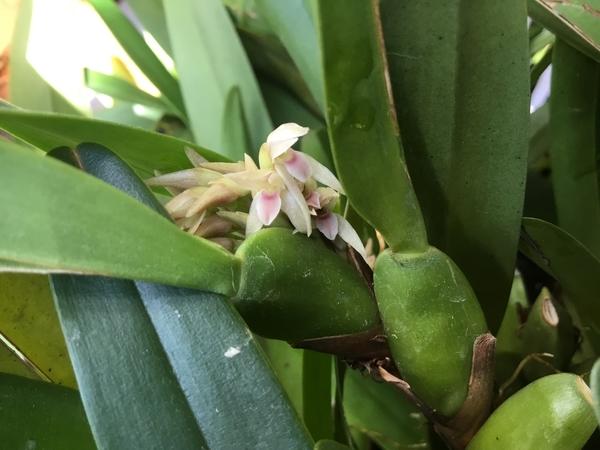 マキシラリア  デンサ  開花始めたばかりです。