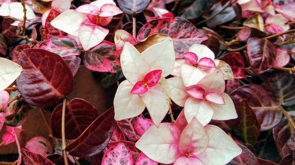 ハツユキカズラの写真 by お庭でティータイム 冬のハツユキカズラ 赤味がきれいに際立