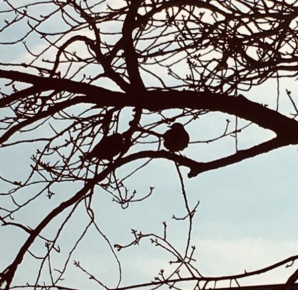 河津桜の木にとまるヒヨちゃん