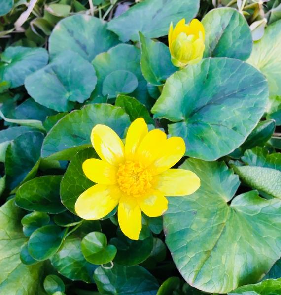 ヒメリュウキンカかな道端で咲いてました 黄色がとても鮮やかです